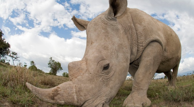 Only Six Northern White Rhinos Left, Extinction Looming