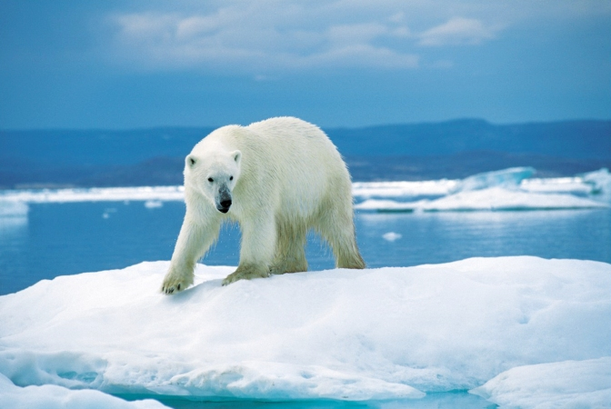 Shrinking Polar Bear Population Could Be Tied To Climate Change