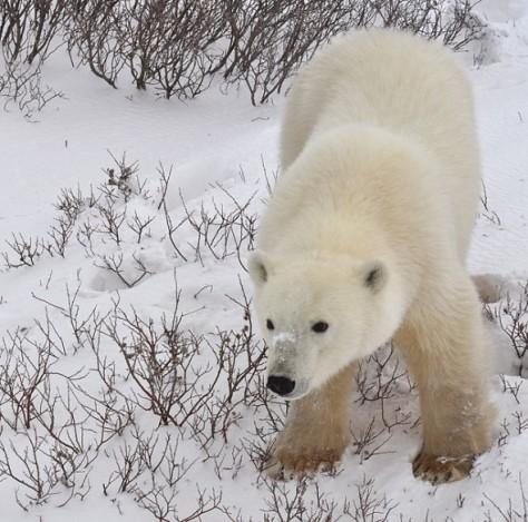 Polar_Bear,_Churchill,_Manitoba,_Canada.