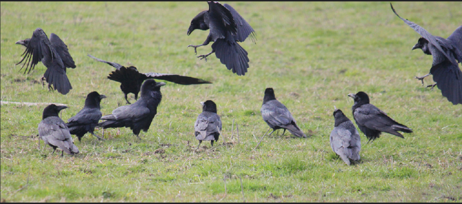 Are Ravens As Socially Savvy as Humans?